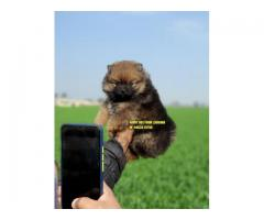 Best Quality Toy Pom Puppies In India