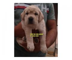 Excellent Quality LABRADOR Puppies In Chandigarh