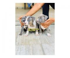 Top Class American Bully Puppies In Chandigarh