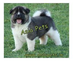 akita puppy for sale in delhi - www.asiapets.in