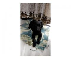 Black labrador female for adoption