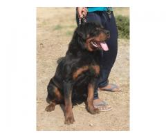 Rottweiler Pups available Trust kennel 9899803008