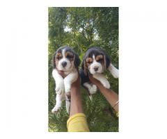 Beagle Pups Available trust kennel 9899803008