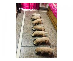 Show Quality Am.Cocker Pups For Sale.trust Kennel