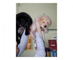 Labrador Pups Dogs For Sale.Trust Kennel 9899803008