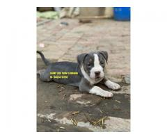 Suprbbb Quality American Bully Puppies Available