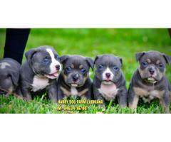 Excellent Quality American Bully In Jalandhar