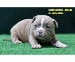 Champion Line American Bully Puppies In Puinab