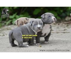 Heavy Quality American Bully Puppies In India
