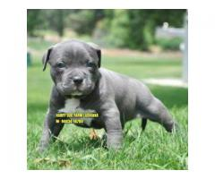 Suprbb Quality American Bully Puppy In Chandigarh