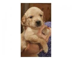 Khwabeeda Dreamy Pet's GoldenRetriever Pups For Sale