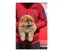 Khwabeeda Dreamy Pet's Chow Chow Puppies Available In Delhi