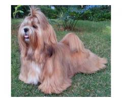 Khwabeeda Dreamy Pet's LhasaApso Pups Available Here Delhi