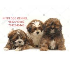 Lasha apso puppy available for new home 9582799502,7042846448