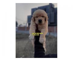 Suprbb Quality Golden Retrievers Puppies In Punjab India