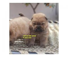 Suprbb Quality Chow Chow Puppies