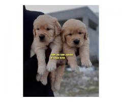 Class Quality Golden Retrievers Puppies In Ambala