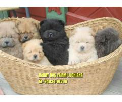 Excellent Quality Chow Chow Puppies In Shimla