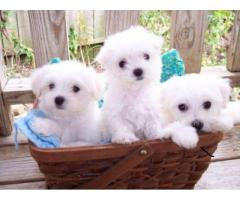 very lovable and sweet Maltese puppies needs a new home