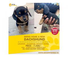 DACHSHUND - male puppies are available