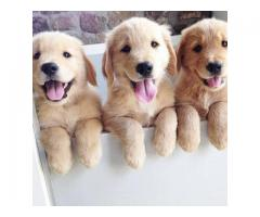 Top quality golden retriver puppies available call 8610010231