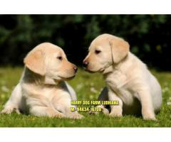 Import Quality LABRADOR Puppies Available In Shimla