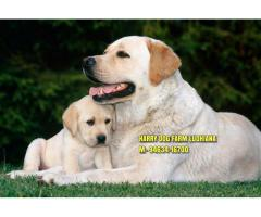 Champion Line Labrador Puppies In Tohana