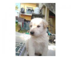 A Healthy Labrador & Bhotia Mix Male Puppy for sale