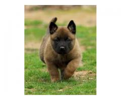 belgian malinoise puppies for sale