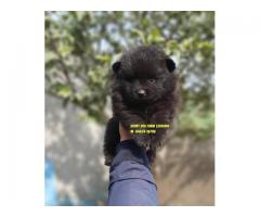 Small Size Black Toy Pom Puppies In Chandigarh