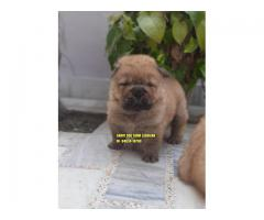 Excellent Quality Chow Chow Puppies In Chandigarh