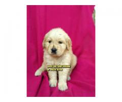 Show Quality Import Quality Golden Retriever Puppies In Moga City