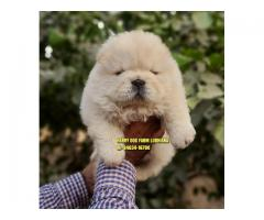Import Quality Chow Chow Puppies in Rajpura