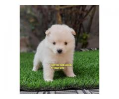 Outstanding Quality POMERANIAN Puppies In LUDHIANA Punjab