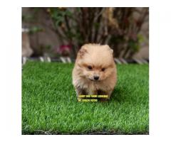 Outstanding Quality Toy Pom In Moga City