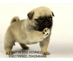 Pug puppy available for new home 9582799502,7042846448