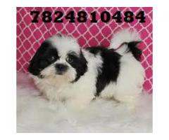 shih tzu puppies for sale in chennai 78248 10484