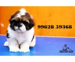 shih tzu puppies for sale in chennai 99628 59368