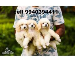 toy poodle puppies for sale in chennai 9940394411