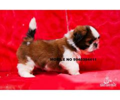 shih tzu puppies for sales in chennai 9940394411