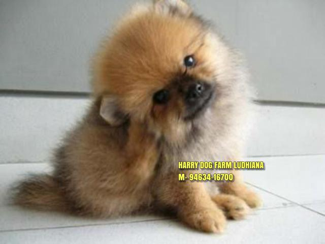Toy Pom Puppies in Mohali