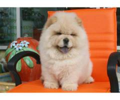 chowchow puppies for sale