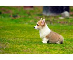 welsh corgi puppies for sale
