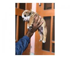 English Bulldog puppies for sale - 9888341827