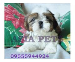 Top Quality Shih tzu Heavy Puppies For Sale in Best Price range in Delhi Ncr