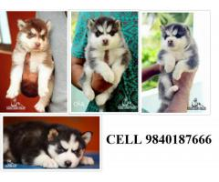 siberian Husky puppies for sale in chennai 9840187666