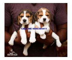 show quality beagle puppies for sale in chennai 9940394411
