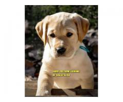 Suprbb Quality LABRADOR Puppies In LUDHIANA