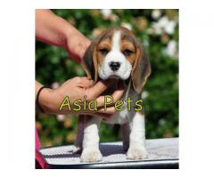 Unique Breed of Dog New Bone Beagle Puppies For Sale