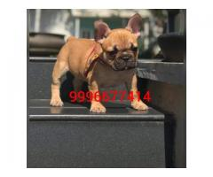 Show quality French bulldog puppy